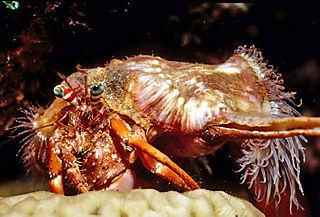 Anemone_Hermit_Crab
