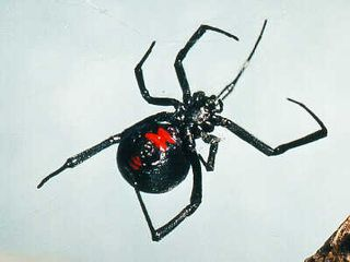 JSC 9911 Black Widow belly 2
