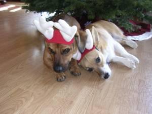Reindeers_bored